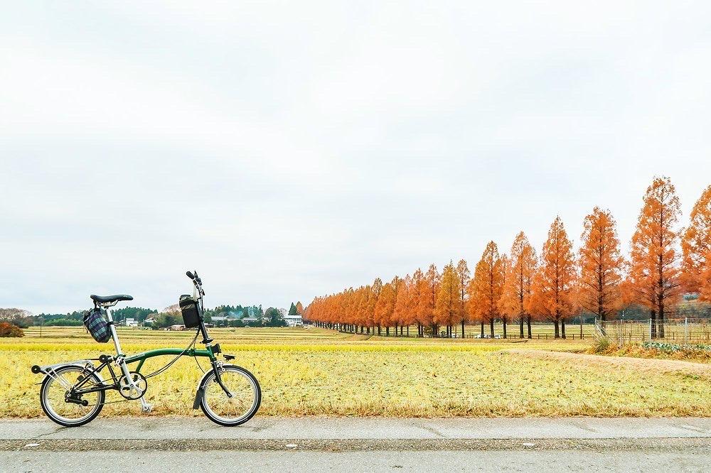 マキノのメタセコイア並木道の紅葉の風景