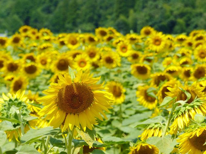 ひまわり畑を近くで見た写真。ひまわりの花はとても大きくて背が高い。