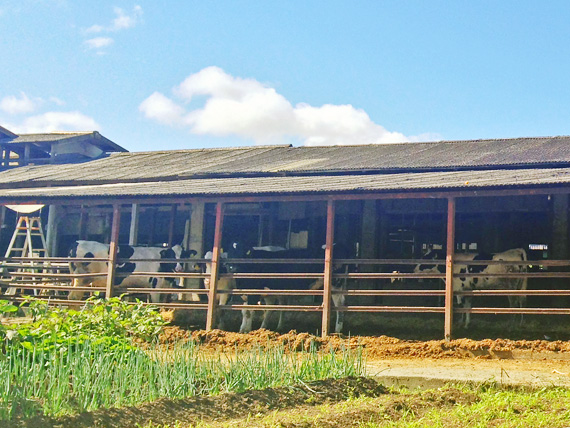 牛舎があり、その中に白黒模様の牛がいるのが見える写真。
