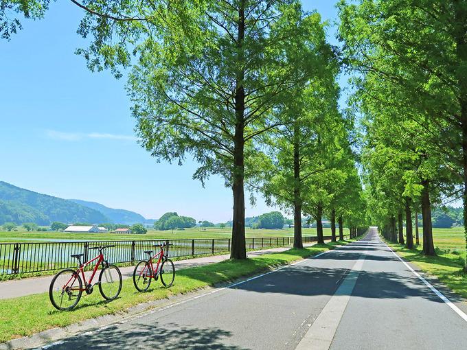 春夏の緑色のメタセコイア並木道