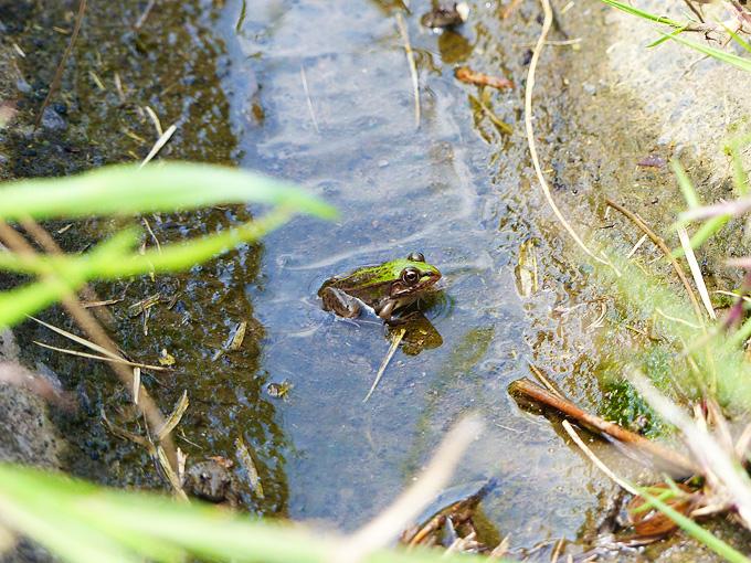 水が流れていない用水路の底に溜まった水の上に、緑色のトノサマガエルの姿。