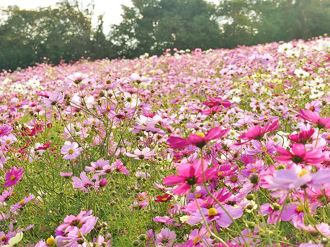 コスモスの花の写真。一面コスモスの花が広がっている。
