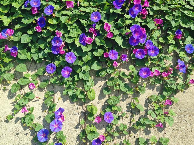 斜面から垂れ下がる朝顔の花を大きく写した写真。全体を見ると迫力があったが、近くで見ると花は美しい。青紫色や赤紫色など、1つ1つ色が少しずつ違っている。