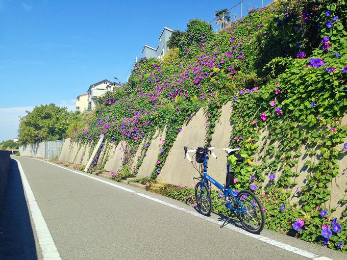 播磨サイクリングロードの道路脇の斜面に緑色の葉が茂り、紫色の朝顔の花がたくさん咲いている。