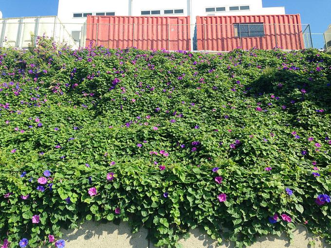 朝顔の花が咲く斜面を正面から見上げた写真。横にも、上下にも、かなりたくさんの葉と花が広がっている。