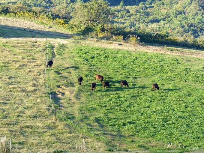草を食べる牛の姿を大きく写した写真。たくさんの黒毛和牛が緑色の草むらで草を食べている。