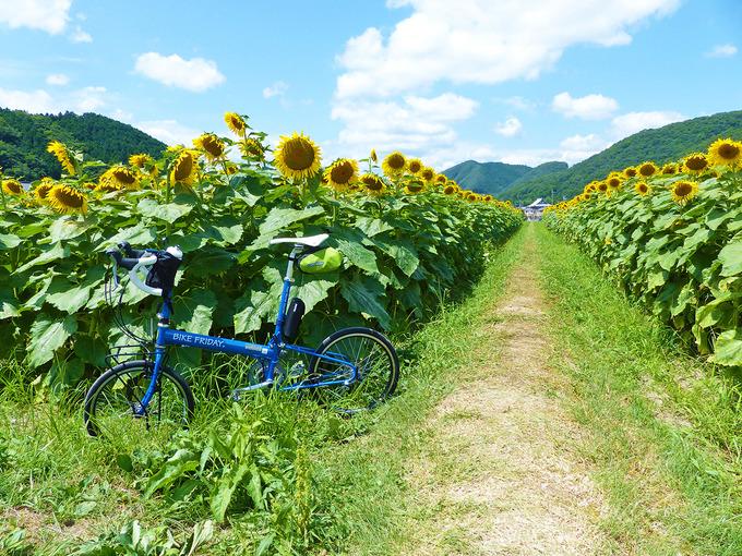 右と左に「ひまわり畑」、その間には草の生えた小道がある。左側のひまわり畑の手前に、バイクフライデーの折り畳みミニベロ「ニューワールドツーリスト」が停められている。ひまわりの花は、自転車よりはるかに背が高い。