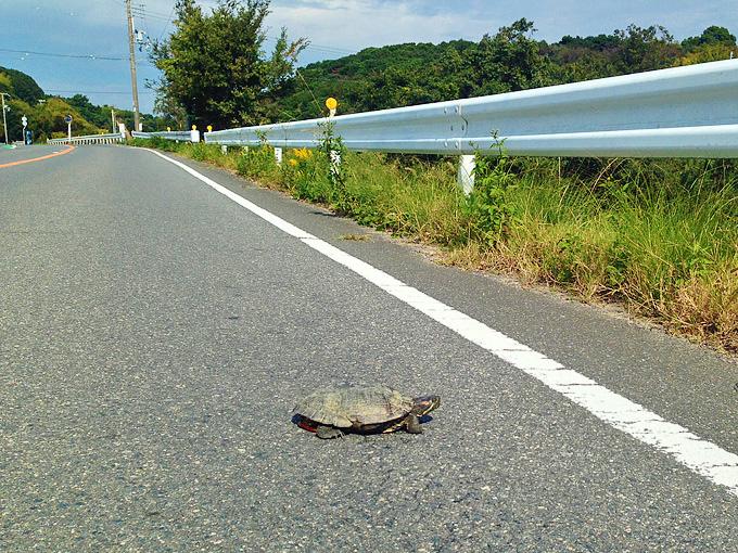道路の真ん中に亀が歩いている写真。