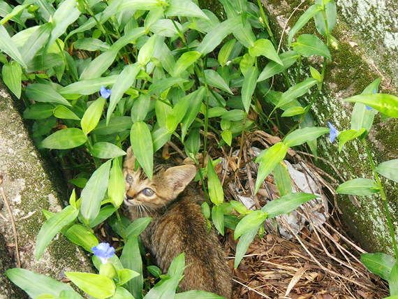 道路脇の溝の中に緑色の雑草が生えていて、その草の中に小さな茶色い子猫がいて、こちらを見ている写真。