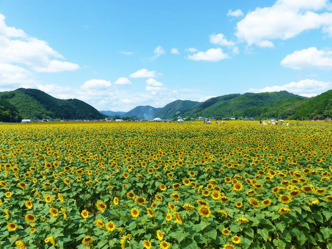 視界の端から端まで、一面に広がる「ひまわり畑」の風景。黄色いひまわり畑の上には、青空が広がっている。