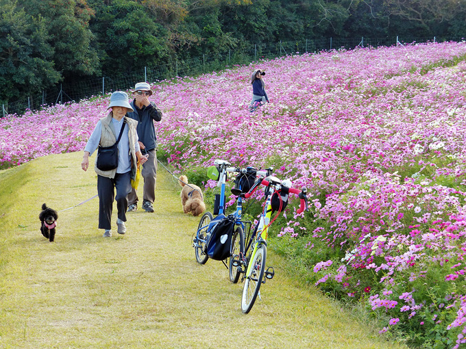 「あわじ花さじき」のコスモス畑の写真。コスモス畑の中に2台の自転車、バイクフライデーの折り畳みミニベロ「ニューワールドツーリスト」とミニベロロード「コメットR」が停められている。