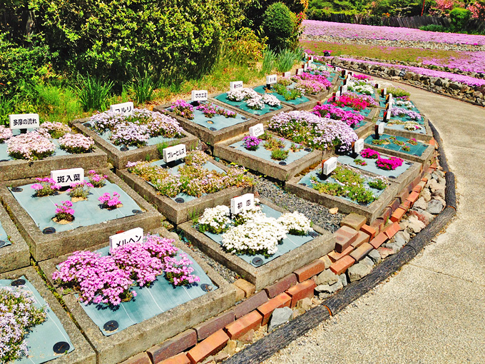 たくさんの種類の芝桜の花が品種名の札とともに並べられている写真。